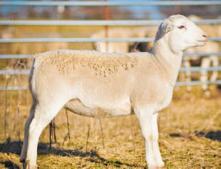 McGee White Dorper Sheep