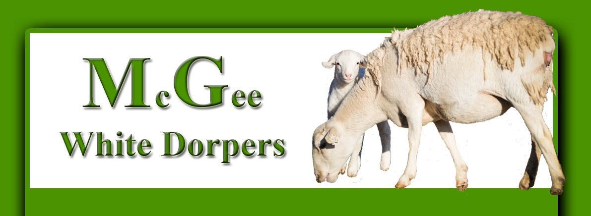 McGee White Dorpers